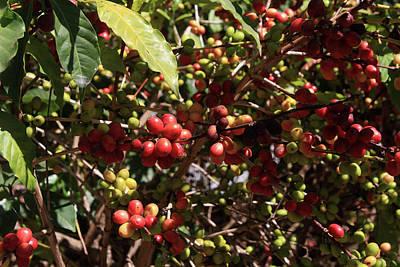 Arabica Coffee Beans, Ethiopia Poster by Aidan Moran