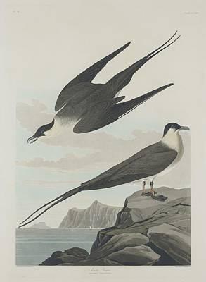 Arctic Jager Poster by John James Audubon