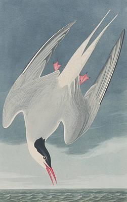 Arctic Tern Poster by John James Audubon