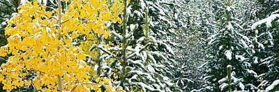 Aspen And Evergreen Trees While Poster by Panoramic Images