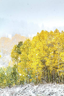 Aspens In The Snow Poster by Teri Virbickis