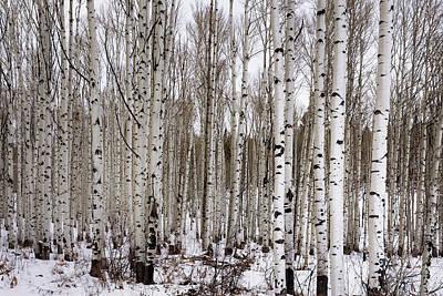 Aspens In Winter - Colorado Poster by Brian Harig