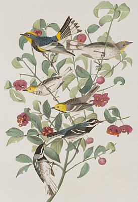 Audubons Warbler Hermit Warbler Black-throated Gray Warbler Poster by John James Audubon