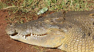 Australian Saltwater Crocodile Poster by Gary Crockett