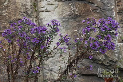 Autumn Asters Poster by Randy Bodkins