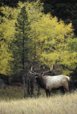 Autumn Bull Elk Bugling  Poster by Gary Langley