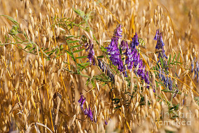 Avena Or Oats And Vicia Grow In Field  Poster by Arletta Cwalina