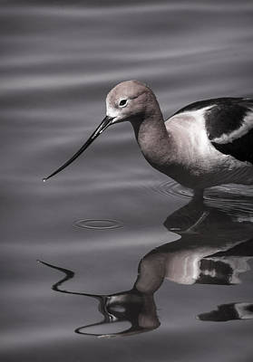 Avocet Water Reflections Poster by Vicki Stansbury