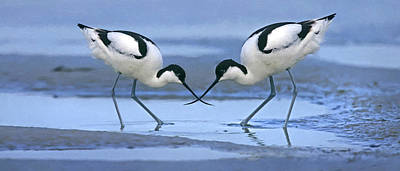 Avocets Poster by Alan Bedding