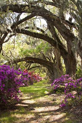 Azaleas And Live Oaks At Magnolia Plantation Gardens Poster by Dustin K Ryan