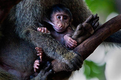 Baboon Papio Baby Feeding, Lake Poster by Panoramic Images