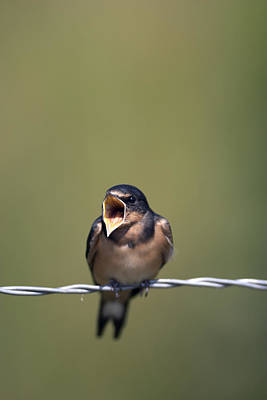 Baby Barn Swallow  Poster by Harold Stinnette