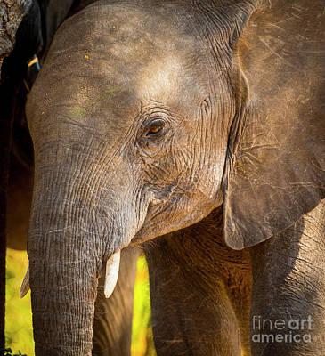 Baby Elephant In Africa Poster by Tim Hester