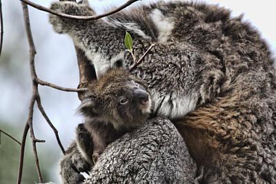 Baby Koala V2 Poster by Douglas Barnard