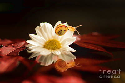 Baby Snail On A Flower In The Water  Poster by Tanja Riedel