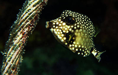 Baby Trunk Fish Poster by Jean Noren