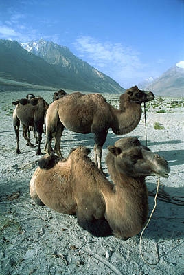 Bactrian Camel Camelus Bactrianus Group Poster by Colin Monteath