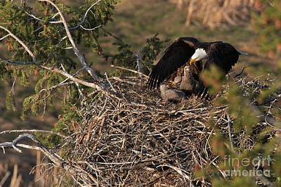 Bald Eagle And Eaglets Poster by Daryl L Hunter