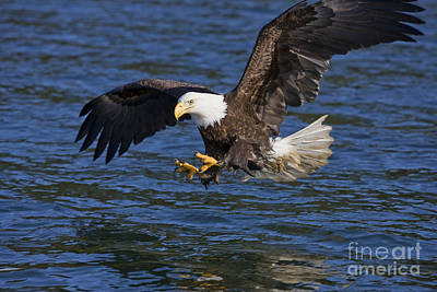 Bald Eagle Fishing Poster by John Hyde - Printscapes