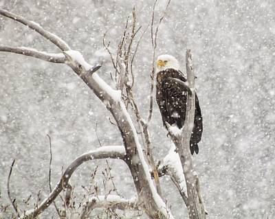 Bald Eagle In A Blizzard 1 Poster by LeAnne Perry