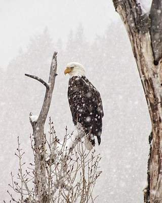 Bald Eagle In A Blizzard 2 Poster by LeAnne Perry