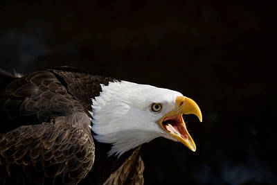 Bald Eagle Portrait 2 Poster by Laurie With