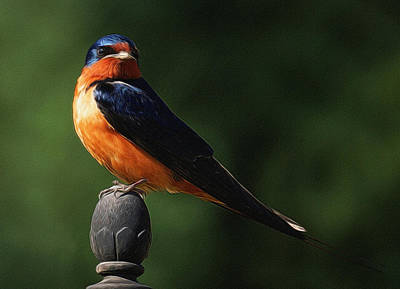 Barn Swallow Digital Art Poster by Ernie Echols