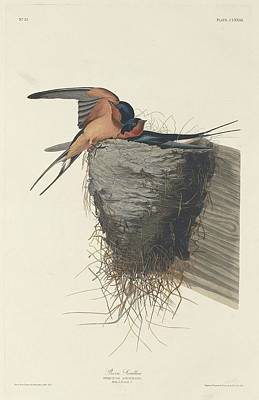 Barn Swallow Poster by John James Audubon