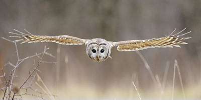 Barred Owl In Flight Poster by Scott  Linstead