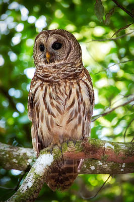 Barred Owl Poster by Rich Leighton