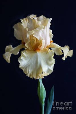 Bearded Iris 3 Poster by Elena Nosyreva