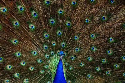 Beautiful Peacock Poster by Larry Marshall