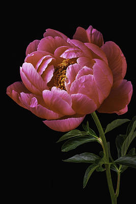 Beautiful Peony Poster by Garry Gay