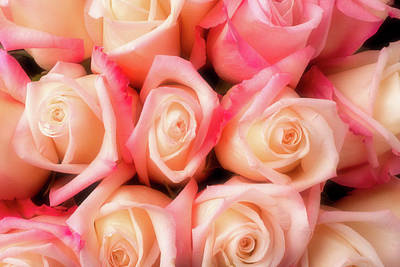 Beautiful Soft Pink Roses Poster by Garry Gay