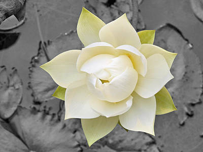 Beautiful White Lotus In Full Bloom Poster by Eddie Yong