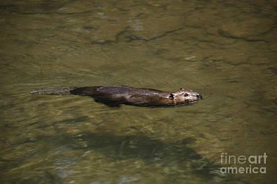 Beaver Swim Poster by Randy Bodkins