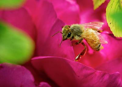 Bee On Rugosa Poster by Jean Noren