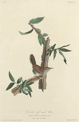 Bewick's Long-tailed Wren Poster by John James Audubon