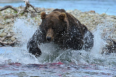 Big Brown Bear Trying To Catch Salmon In Stream Poster by Dan Friend