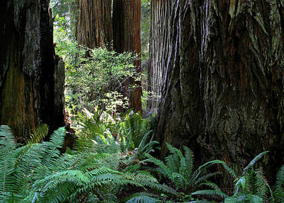 Big Trees And Ferns Poster by Jim Nelson