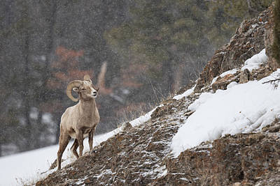 Bighorn Sheep Poster by Andrew Wells