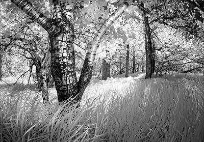 Birch In The Tall Grass Poster by Dan Jurak