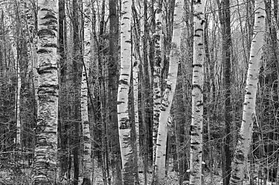 Birch Stand Poster by Ron Kochanowski - www.kochanowski.us