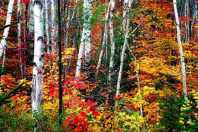 Birch Trees With Colorful Fall Foliage Poster by George Oze
