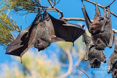 Black Flying Fox Bats Poster by B.G. Thomson