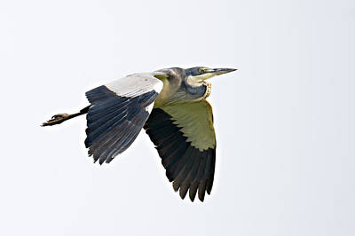 Black-headed Heron Ardea Melanocephala Poster by Panoramic Images