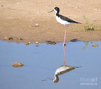Black Necked Stilt Poster by Judy Tomlinson