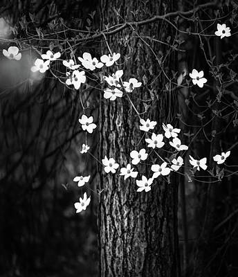 Blooming Dogwoods In Yosemite Black And White Poster by Larry Marshall