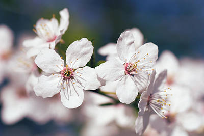 Blooming Plum Tree  Poster by Martin Capek