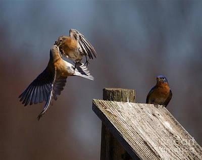 Blue Bird Mayhem Poster by Robert Pearson